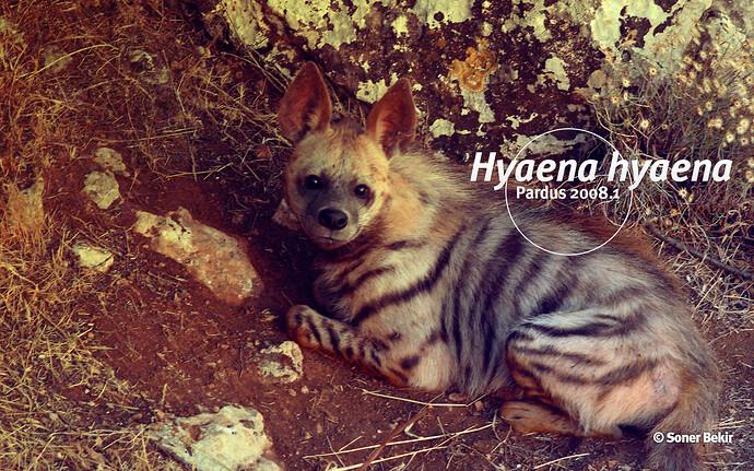 hyaenage